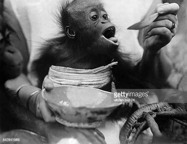 Orang-Utans: Jungtier werden von einer Tierpflegerin gefüttert- undatiert, vermutlich um 1934