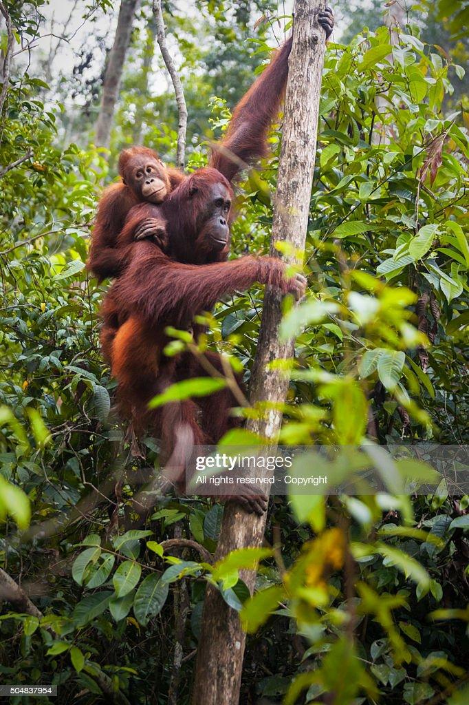Orangutans (Borneo, Indonesia) : Stock Photo