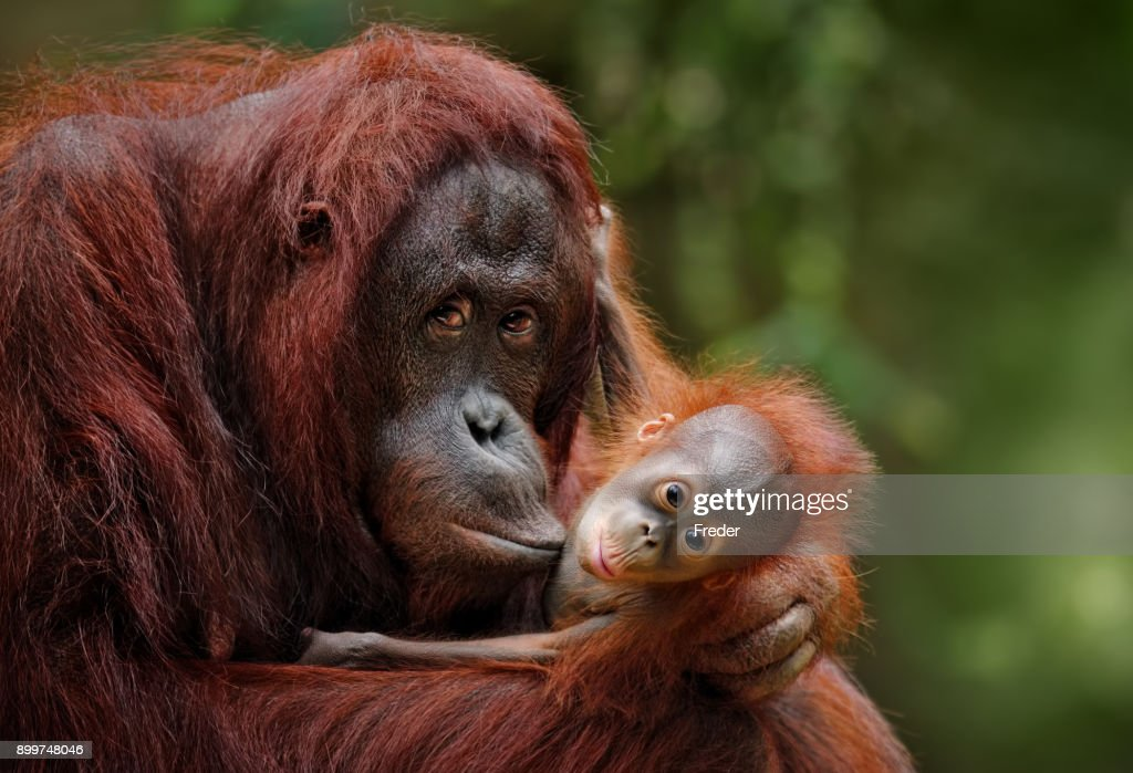 orangutans : Stock Photo
