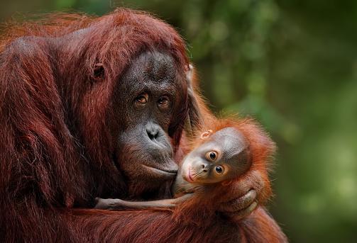 orangutans 899748046