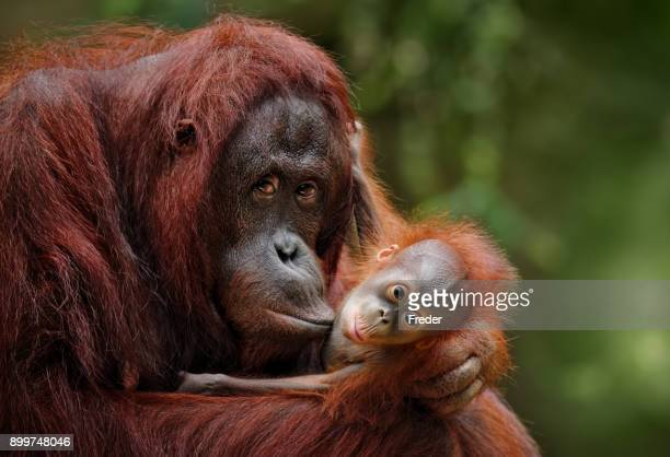 orangutans - primate stock pictures, royalty-free photos & images