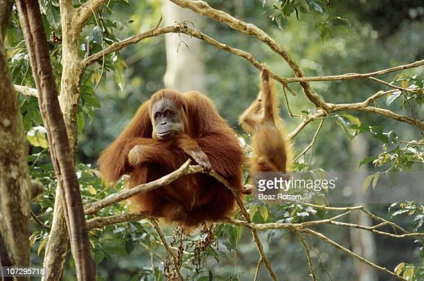 Orangutans playing