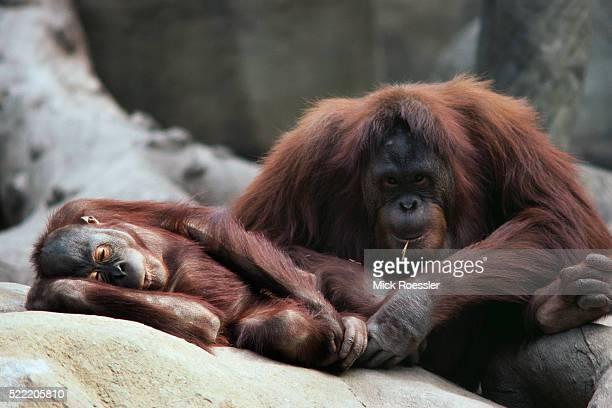 orangutans resting on rocks - ロサンゼルス動物園 ストックフォトと画像