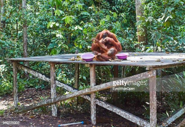 TANGGUI KALIMANTAN / BORNEO INDONESIA OCTOBER 27 2013 OrangUtans semiwild eating Bananas and Playing in the Rainforest of Tanjung Puting Nationalpark...