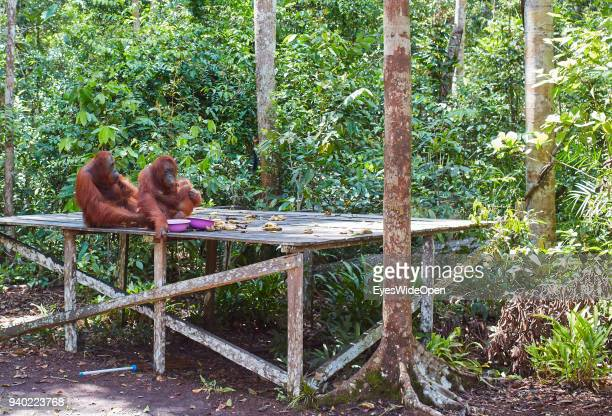 TANGGUI KALIMANTAN / BORNEO INDONESIA OCTOBER 27 2013 OrangUtans semiwild eating Bananas in the Rainforest of Tanjung Puting Nationalpark at Camp...
