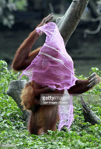 Orangutans With Infant Covered In Fabric On Grassy Field