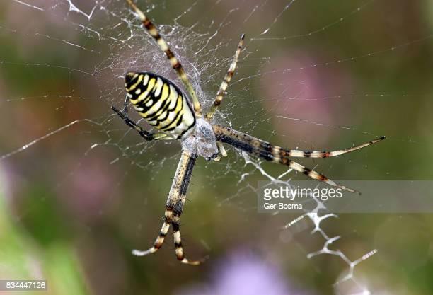 Orb Weaver Spider Stock Pictures Royalty Free Photos Images