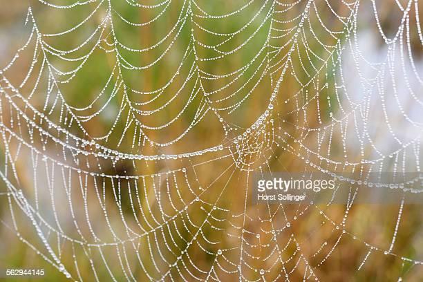 orb web of a garden cross spider -araneus diadematus- with dew drops, bavaria, germany - ニワオニグモ ストックフォトと画像