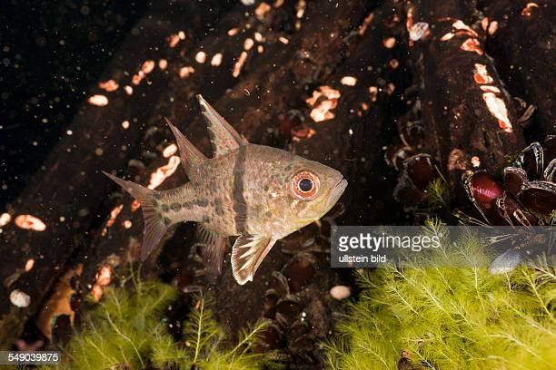 Orbiculated Cardinalfish Sphaeramia orbicularis Jellyfish Lake Micronesia Palau