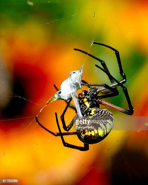 Orbit Spider eating a bee