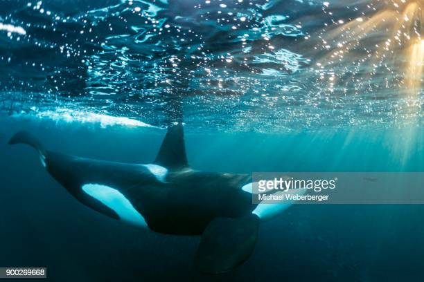 Orca (Orcinus orca) below the water surface, Norway, Tromvik, Kaldfjorden