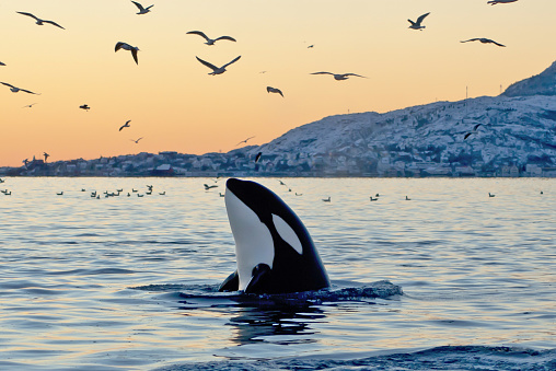 Orca emerging from the ocean at sunset with coast and birds 117148882