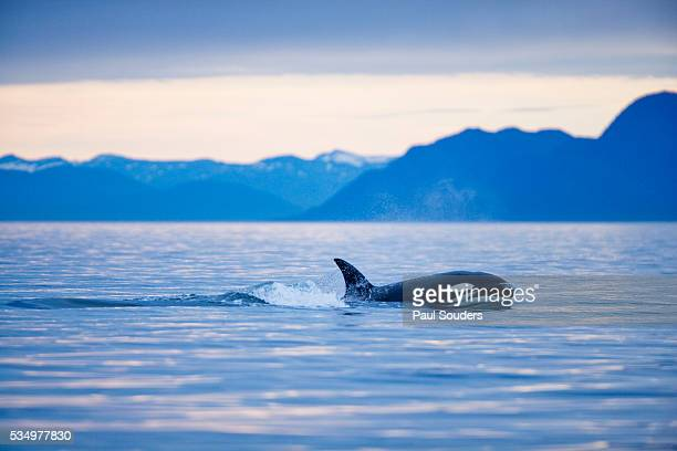 orca or killer whale in frederick sound - killer whale stock pictures, royalty-free photos & images