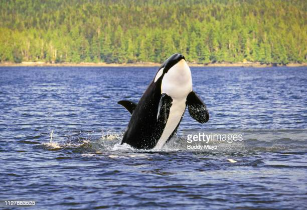 Orca or Killer Whale leaping out of the water while feeding