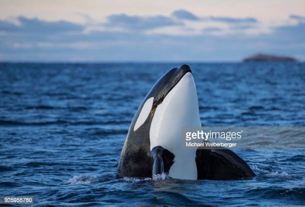 Orca or killer whale (Orcinus orca), spyhopping, Kaldfjorden, Norway