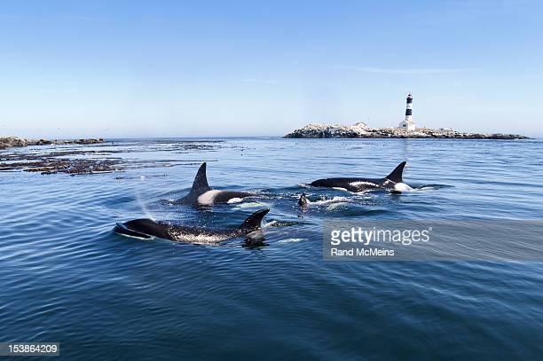 Orca Pod Killer whales light house