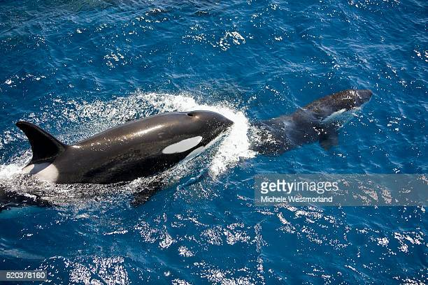 orca pod near new zealand - killer whale stock pictures, royalty-free photos & images