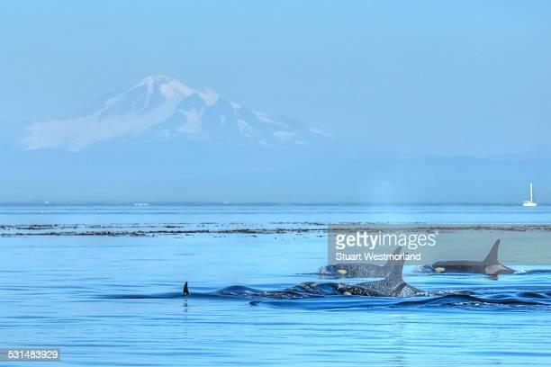 orca pod surfacing - カスケード山脈 ストックフォトと画像