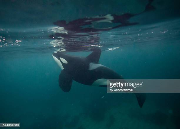 Orca Reflections