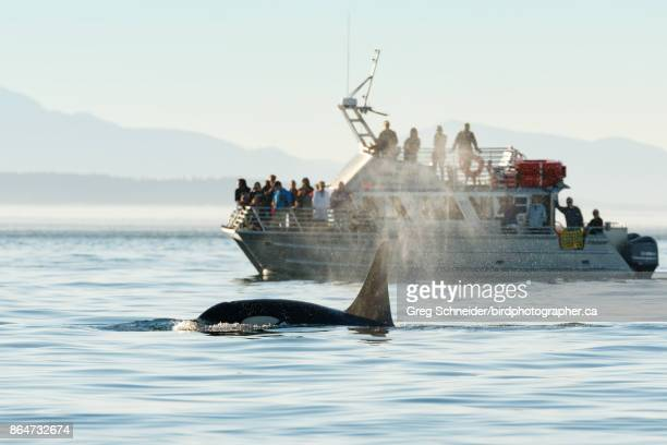 Orca surfacing by whale watching tour boat