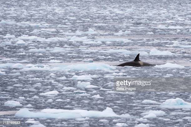 orca (orcinus orca) swimming in lemaire channel, antarctic - cetacea stock photos and pictures