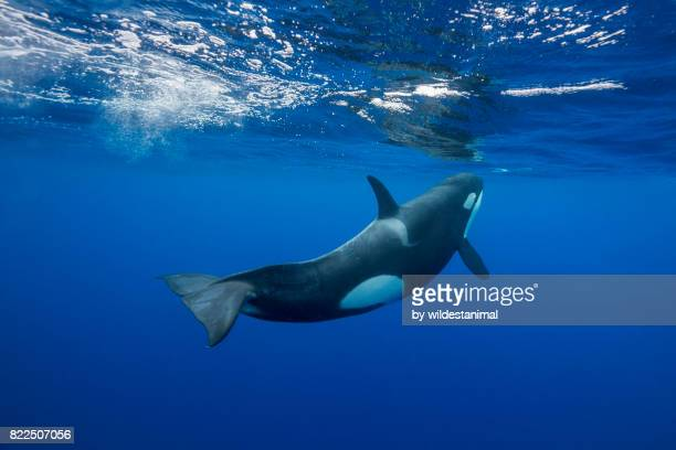 orca swimming towards the surface to breath. image was taken in the pacific ocean way off the east coast of the north island of new zealand. - vida no mar - fotografias e filmes do acervo