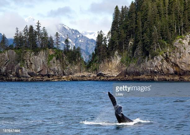 rabo do orca - golfo do alasca imagens e fotografias de stock