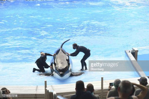 Orca trainers wear protective masks during a show at the SeaWorld amusement park in Orlando, Florida, U.S., on Thursday, June 11, 2020. After an...