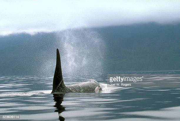 orca whale surfacing - killer whale stock pictures, royalty-free photos & images