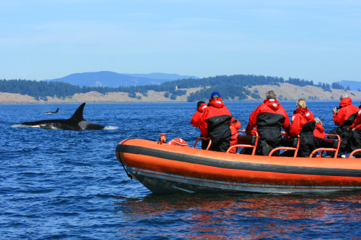 Orca Whale Watching Tourists on Zodiac Boat Canada 157279250