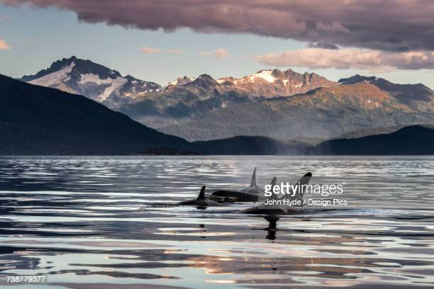 Orca Whales (Orcinus orca) surface near Juneau in Lynn Canal, Inside Passage, with the coast range in the background