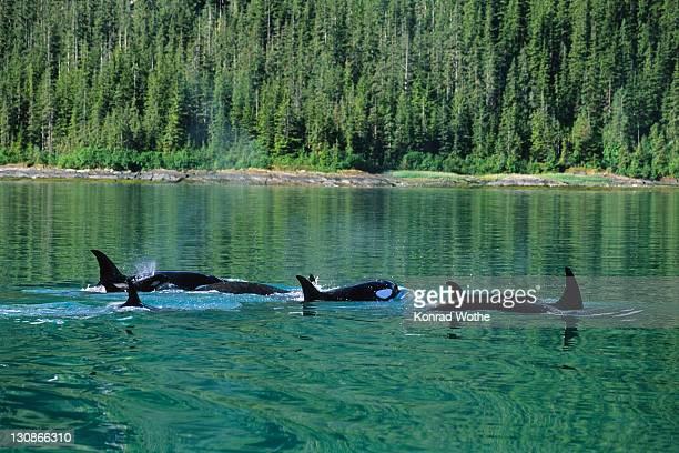 Orcas (Orcinus orca), Alaska, USA
