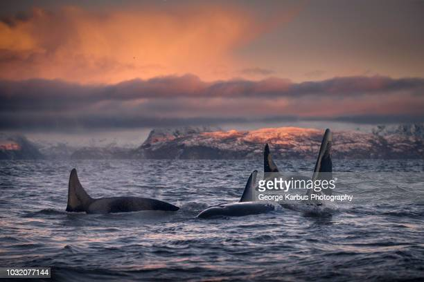 orcas, killer whales, skjervøy, troms, norway - killer whale stock pictures, royalty-free photos & images