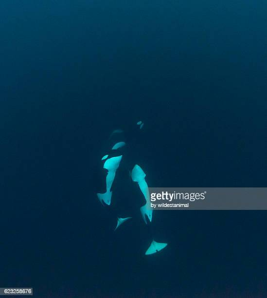 Orcas Looking Up