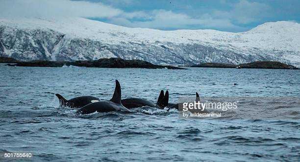 Orcas Socializing