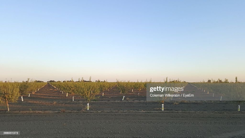 Orchard Against Clear Sky : Stock Photo