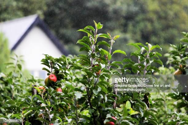 orchard - apple trees - gregoria gregoriou crowe fine art and creative photography stock-fotos und bilder