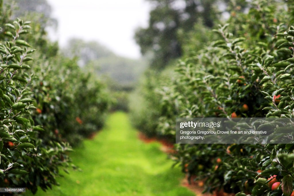 Orchard - Apple Trees : Stock Photo
