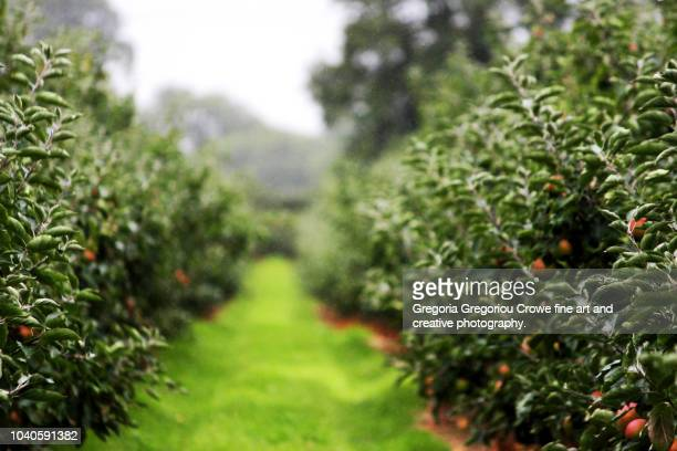 orchard - apple trees - gregoria gregoriou crowe fine art and creative photography. stock pictures, royalty-free photos & images