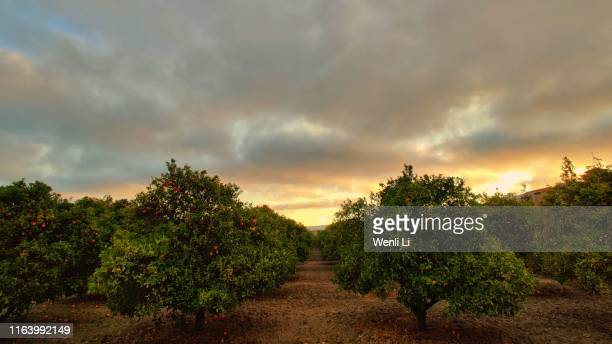 orchard at sunset - orchard stock pictures, royalty-free photos & images