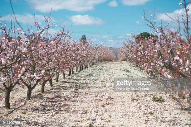 orchard in bloom - almond orchard stock photos and pictures