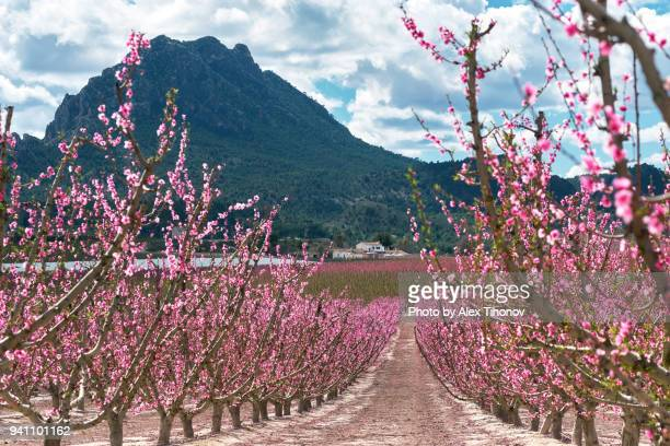 orchard in bloom - murcia - fotografias e filmes do acervo