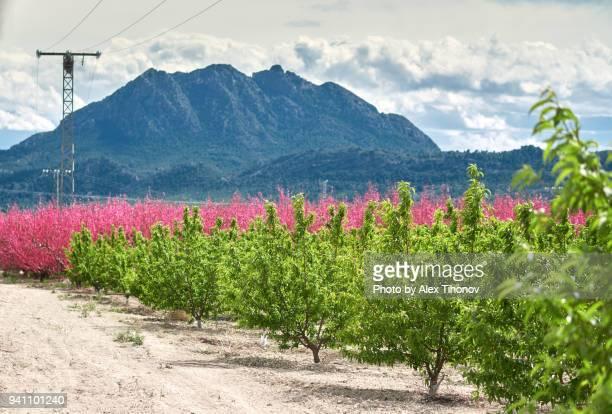 orchard in bloom - ムルシア市 ストックフォトと画像