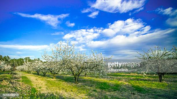 Orchard of blossoming cherry trees