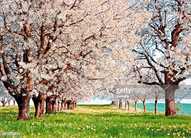 orchard of cherry blossom trees in bloom, aargau, switzerland - bloesem stockfoto's en -beelden