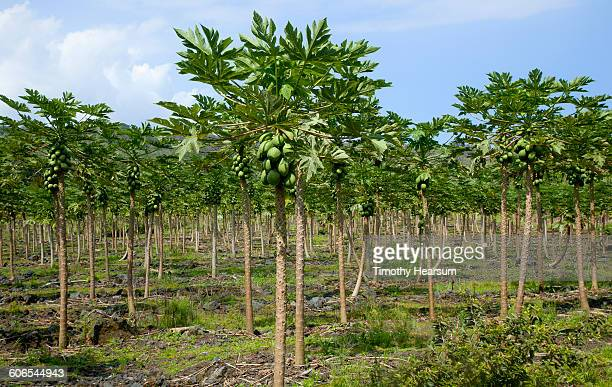orchard of mature papaya trees laden with fruit - fruit laden trees stock pictures, royalty-free photos & images