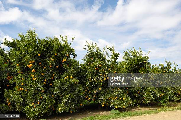 orchard of navel orange trees - navel orange stock photos and pictures