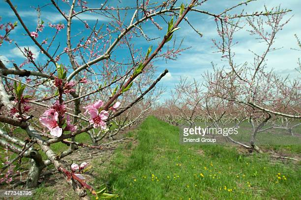 Orchard of Peach trees in early spring blossom.