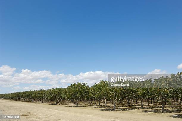 orchard of ripening pistachio nuts - pistachio tree stock photos and pictures