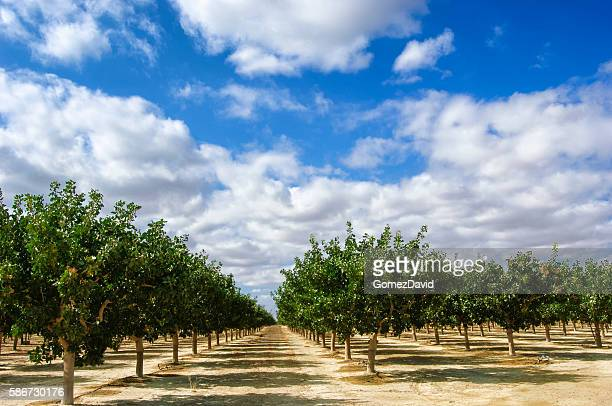 orchard of ripening pistachio nuts - orchard stockfoto's en -beelden